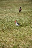 Due uccelli in un campo Fotografia Stock Libera da Diritti