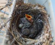 Due uccellini implumi Fotografia Stock