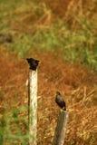 Due uccellini stanno cantando sui pali Fotografie Stock