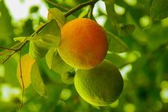 Due un verdi ed arancio crescenti delle arance, fotografia stock