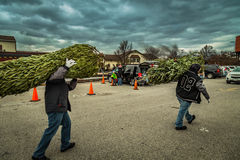 Due uomini Carry Fresh Cut Evergreen fotografia stock libera da diritti