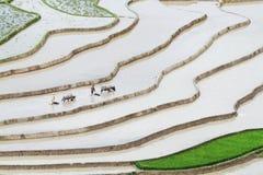 Due uomini non identificati che arano i campi a terrazze con i bufali Fotografia Stock