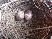 Due uova dell'uccello in un nido Immagine Stock Libera da Diritti