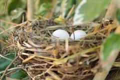 due uova in un nido Fotografie Stock Libere da Diritti