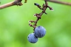 Due uva del Merlot sono rimanere su un mazzo dopo il fuoco selettivo del raccolto della vite Immagini Stock