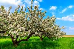 Due vecchi di melo in fioritura sul prato verde Fotografia Stock