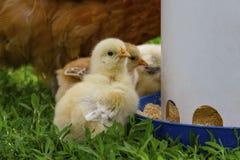 Due vecchi pulcini di settimane che mangiano da un alimentatore immagine stock libera da diritti