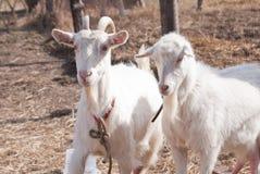 Due vecchie capre Fotografie Stock
