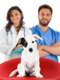 Due veterinari con una presa russell Immagini Stock Libere da Diritti