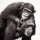A due vie dello scimpanzè Immagini Stock
