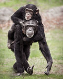 A due vie II dello scimpanzè Immagine Stock
