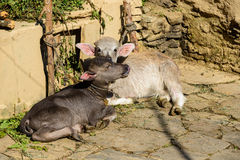Due vitelli Fotografie Stock