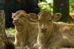 Due vitelli Fotografia Stock Libera da Diritti