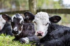 Due vitelli Immagine Stock
