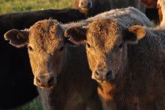 Due vitelli che affrontano macchina fotografica all'indicatore luminoso caldo di pomeriggio Immagine Stock