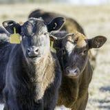 Due vitelli dell'ibrido che esaminano la macchina fotografica si sono accesi dalla destra fotografie stock