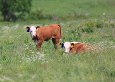 Due vitelli di Hereford Fotografia Stock Libera da Diritti
