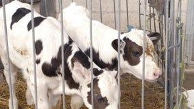 Due vitelli macchiati in una gabbia video d archivio