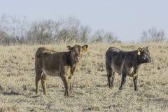 Due vitelli in un pascolo invernale dormiente immagine stock