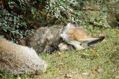 Due volpi pipistrello-eared che dormono sotto il cespuglio della bacca immagine stock libera da diritti