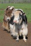 Due yak Fotografia Stock Libera da Diritti