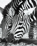Due zebre Fotografia Stock