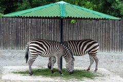 Due zebre Immagini Stock Libere da Diritti