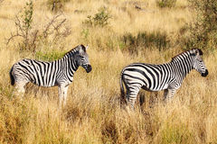 Due zebre Fotografia Stock Libera da Diritti