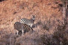 Due zebre Fotografia Stock