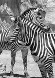 Due zebre Immagini Stock