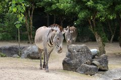 Due zebre che camminano allo zoo di Mulhouse nell'area della Francia l'Alsazia Fotografie Stock Libere da Diritti