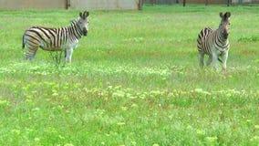 Due zebre che esaminano la macchina fotografica nella regione selvaggia sull'erba stock footage