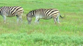 Due zebre che pascono nella regione selvaggia sull'erba verde video d archivio