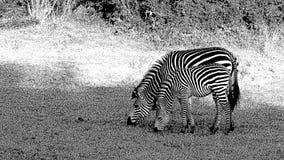 Due zebre con le bande perfettamente di corrispondenza del corpo fotografie stock