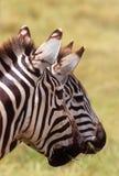 Due zebre, cratere di Ngorongoro, Tanzania Immagini Stock