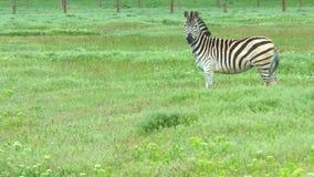 Due zebre nel campo Stando nell'erba ed esaminare la macchina fotografica video d archivio