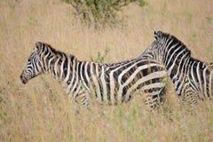 Due zebre nel cespuglio immagini stock