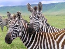 Due zebre nel cratere di Ngorongoro Fotografia Stock