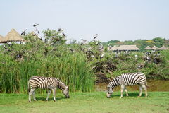 Due zebre a Safari World Fotografia Stock