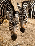 Due zebre teste a testa Immagine Stock