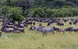 Due zebre in una migrazione del wilderbeast immagine stock