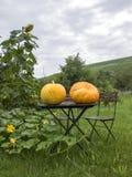 Due zucche gialle enormi si sono riunite appena, riposando sulla tavola all'aperto Fotografie Stock Libere da Diritti
