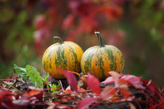Due zucche su uno sfondo naturale indistinto Autumn Time Fotografia Stock