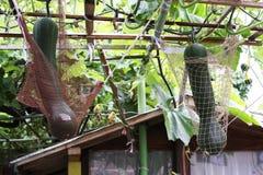 Due zucchini maturi nelle reti Immagine Stock