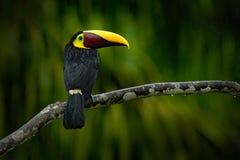 Dużego belfra Chesnut-mandibled pieprzojada ptasi obsiadanie na gałąź w tropikalnym deszczu z zielonym dżungli tłem Obraz Stock