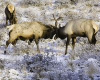 The Duel. Two Bull Elk going at it to establish herd dominance. Other shots and formats available. Taken with Canon 5D Stock Photos