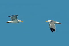 Duel and rivalry in the sky - birds in the wild Stock Photo