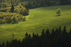 Duel on the summer meadow. Two solitary trees on the meadow between broad-leaved and coniferous forest, Poland Royalty Free Stock Photo