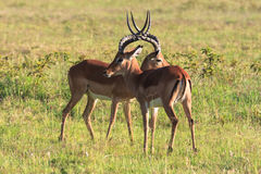 Before the duel. Two males. Who will win? Kenya, Africa Stock Image