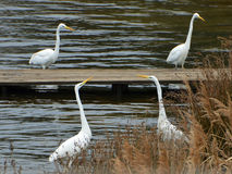 Duel van witte reigers in moeras stock fotografie